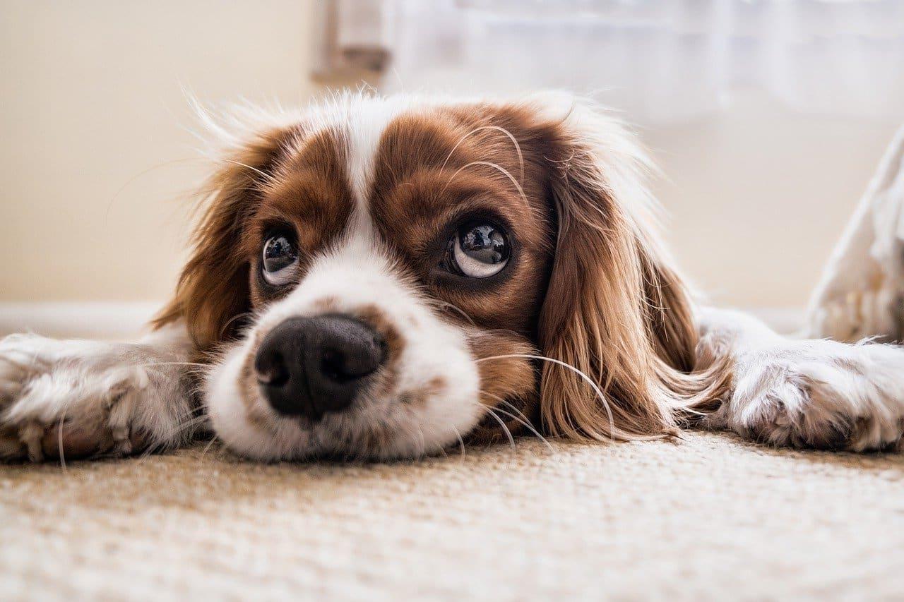 adopter un chien et bien s'occuper de lui