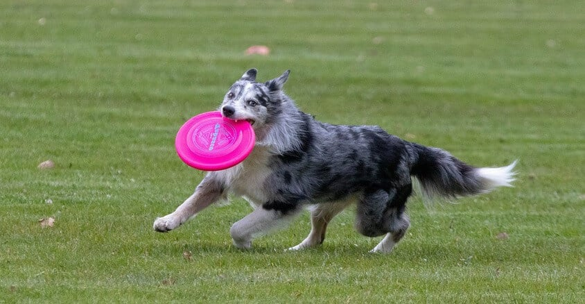 activite-sportive-canine-frisbee